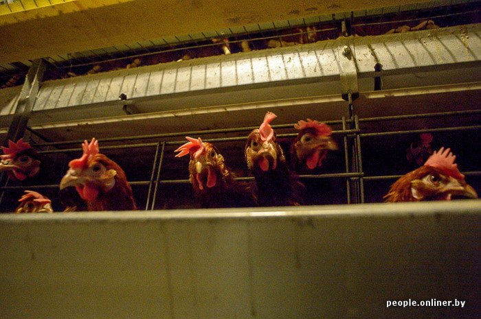 Фоторепортаж: как производят гродненские яйца под марками «Боярские», «Большие» и «Ну очень большие», фото-21