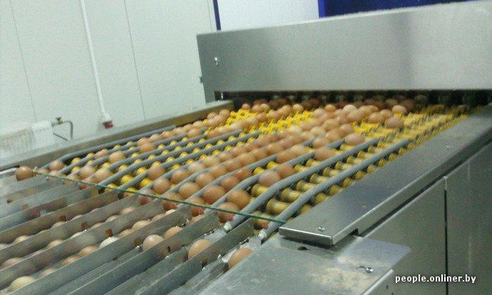 Фоторепортаж: как производят гродненские яйца под марками «Боярские», «Большие» и «Ну очень большие», фото-32
