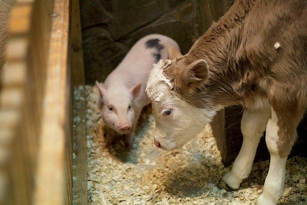 Сотрудники волгоградского трогательного зоопарка спасли теленка от холода (фото) - фото 1