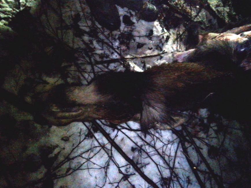 Під Житомиром єгері спіймали браконьєрів, які застрелили самицю лося, фото-1