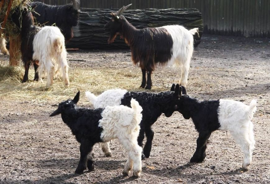 В Киевском зоопарке родились 4 валлийских козленка (ФОТО) (фото) - фото 1