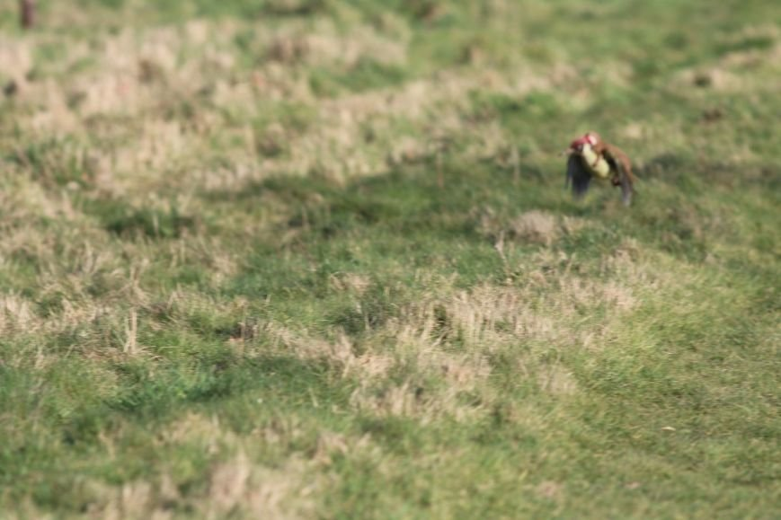 Камера поймала ласку-наездницу, приручившую дятла (фото) - фото 3