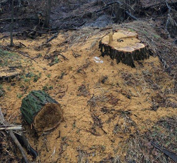 В Новомосковске злоумышленники вырубили лес на 62 тыс. гривен (фото) - фото 1