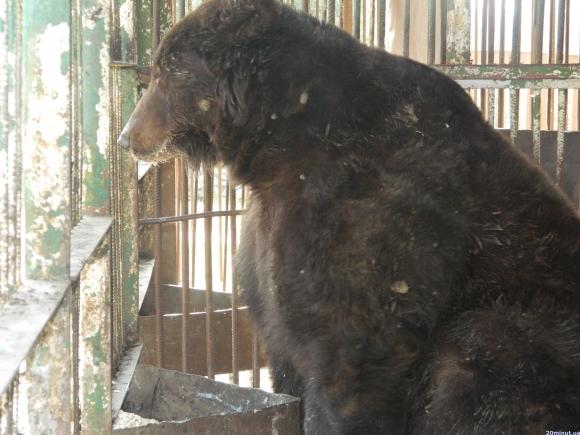 У брудних вольєрах та без харчування: тернополяни врятували бурого ведмедя, якого тримали у жахливих умовах (фото) - фото 1