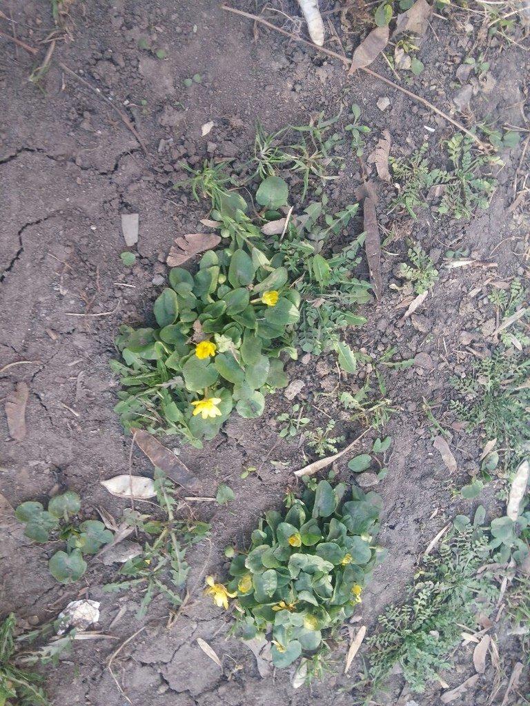 В Мариуполе раньше срока расцвели лютики (ФОТОФАКТ) (фото) - фото 1