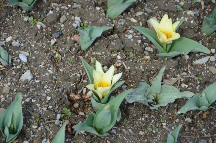 В Никитском саду цветут первые тюльпаны: «Джантино», «Эйхлери», «Ярли Гарвест» и «Иоганн Себестьян Бах» уже ждут Вас… (фото) - фото 1