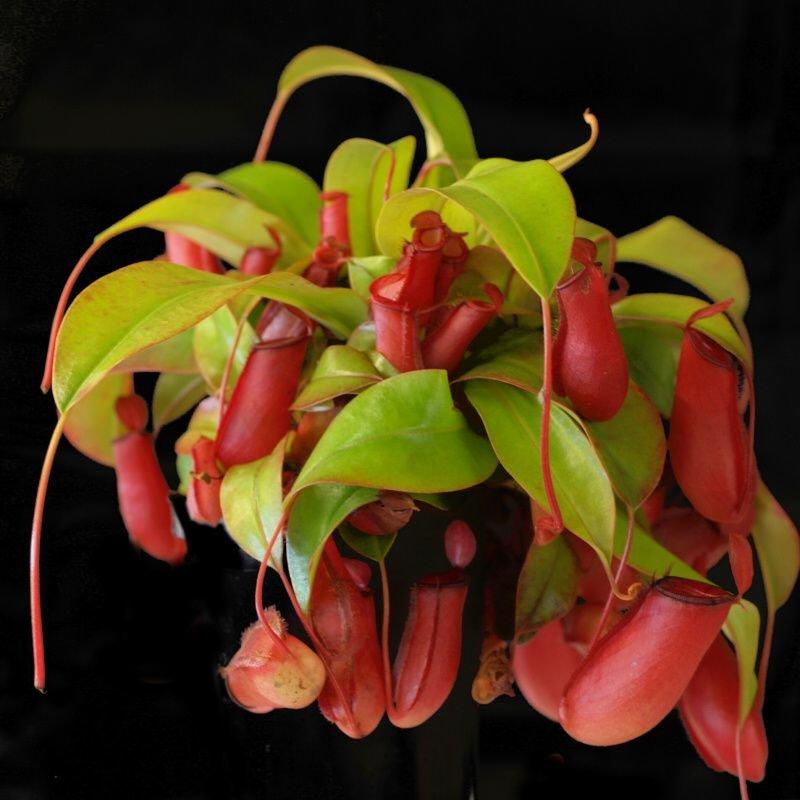 Відкрийте для себе хижих рослин разом з нами! (фото) - фото 4