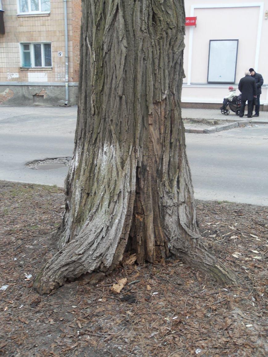 В центрі Полтави аварійне дерево знаходиться навпроти управління ЖКГ, яке має його спиляти (фото) - фото 2