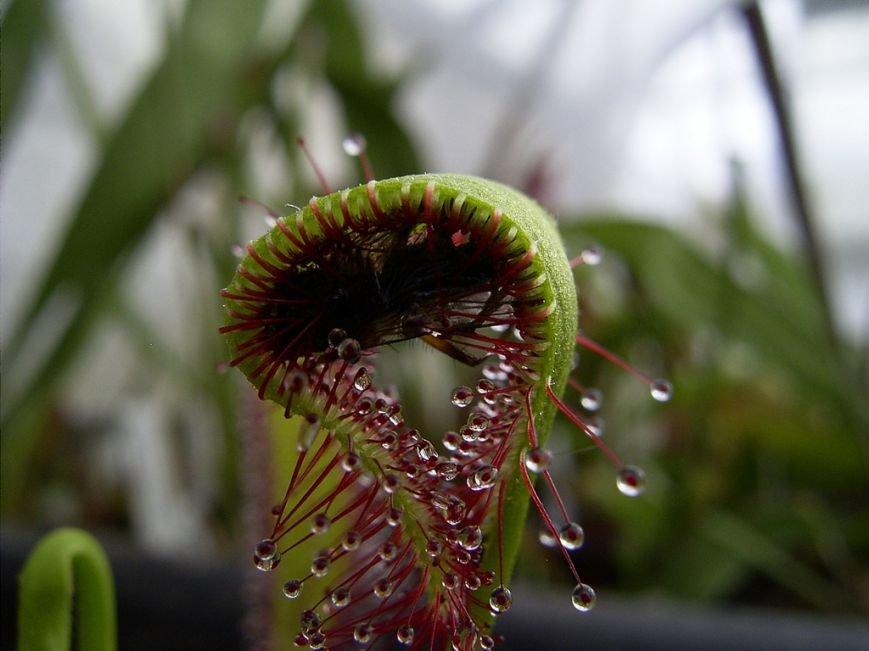 Открой для себя плотоядное растение вместе с нами!, фото-3