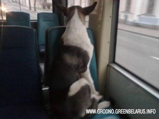 Гродно_собаки_общественный транспорт_бездомные животные