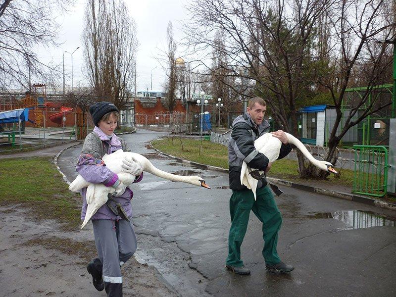 В белгородском зоопарке лебеди спустились на воду (фото) - фото 1