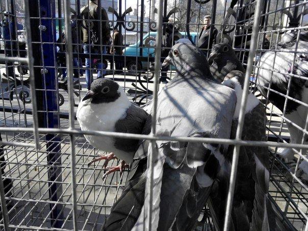 Николаевцы собрались на голубиное бьеннале (ФОТОРЕПОРТАЖ) (фото) - фото 3