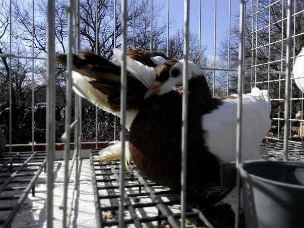 Николаевцы собрались на голубиное бьеннале (ФОТОРЕПОРТАЖ) (фото) - фото 7
