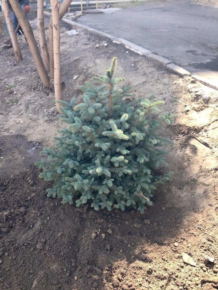 В Сквере Небесной Сотни неизвестные срубили елку и выбросили ее на помойку (ФОТОФАКТ) (фото) - фото 1