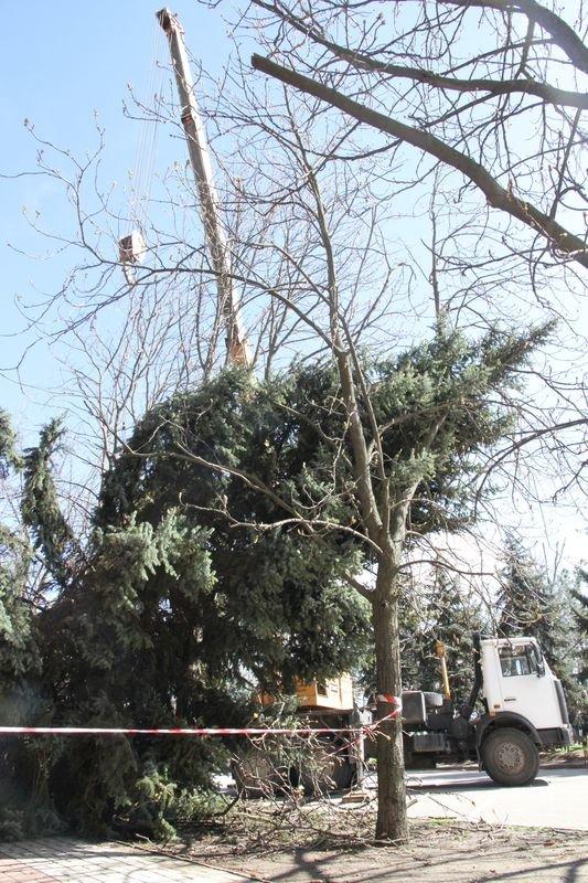 В Николаеве спасли многолетнюю ель, которая упала возле мэрии во время урагана (ФОТО) (фото) - фото 2