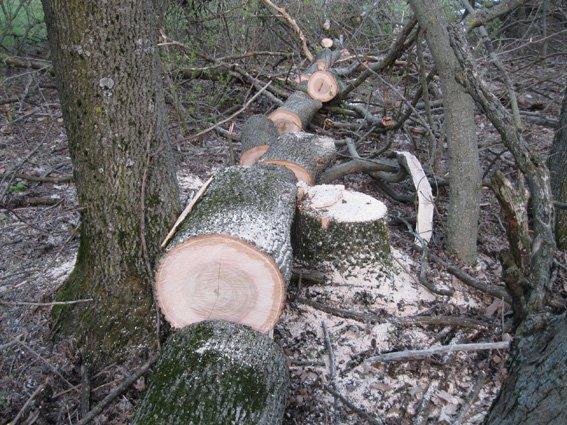 На Кировоградщине незаконно выпиливали деревья (фото) - фото 1