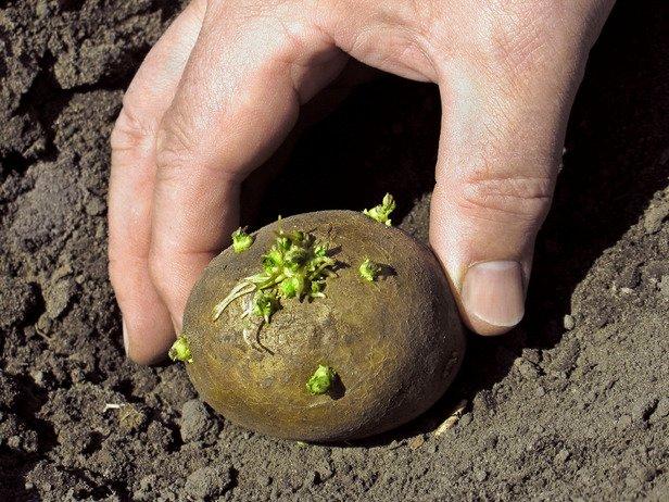 На Рівненщині завершують садити картоплю і підживлюють озимину (фото) - фото 1