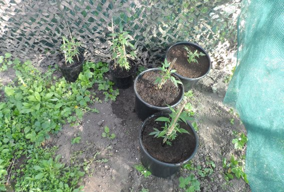 Вирощуванням коноплі займався на дачі (фото) - фото 4
