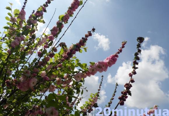 У центрі Тернополі в'януть деревця, які посаджені кілька років тому (фото) - фото 1