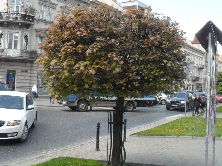 Кленову алею у центрі Львова поїдають шкідники (ФОТО + ВІДЕО) (фото) - фото 2