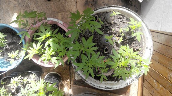 Кременчужанин на підвіконні вирощував коноплі (фото) - фото 2