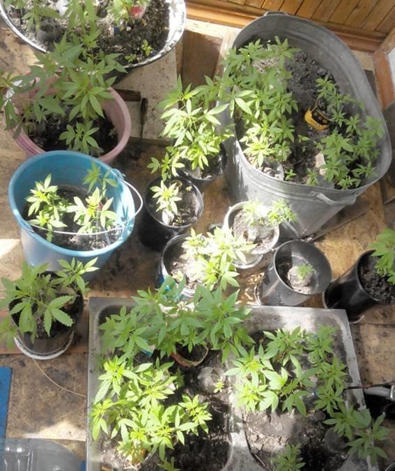 Кременчужанин на підвіконні вирощував коноплі (фото) - фото 3