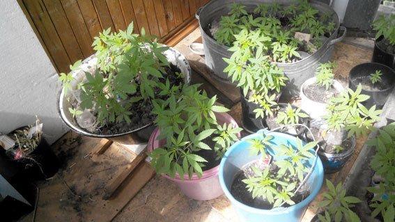 Кременчужанин на підвіконні вирощував коноплі (фото) - фото 1