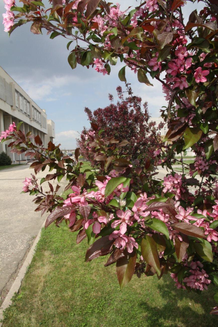В Волгограде расцвели редкие краснолистные яблони, фото-1