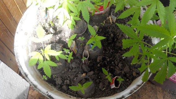 В Кременчуге любитель «травки» выращивал её у себя на балконе (ФОТО) (фото) - фото 1