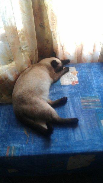 Жертва войны. Ослепшая в Донецке сиамская кошка ищет приют в Одессе (ФОТО) (фото) - фото 1