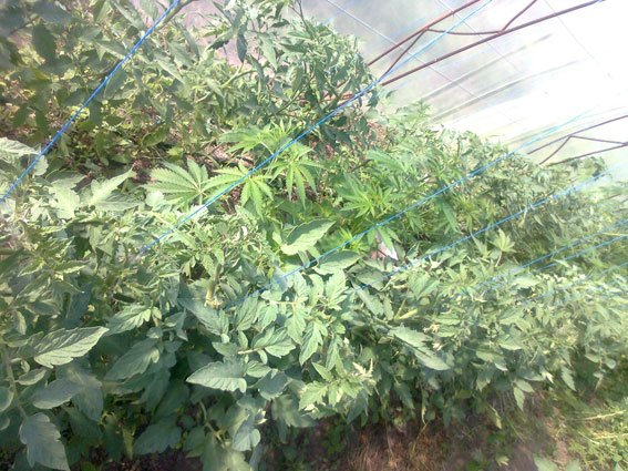 В Запорожской области наркоплантатор прятал коноплю в помидорах (ФОТО) (фото) - фото 1