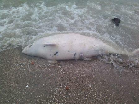 На берег Мариуполя выбросило морскую свинью «азовка» (ФОТО) (фото) - фото 1