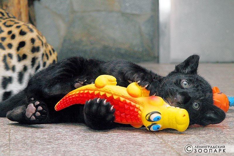 Ленинградский зоопарк объявил сбор игрушек для детенышей ягуаров (фото) - фото 1