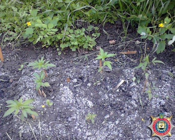 Жительница Першотравневого района выращивала коноплю (ФОТО) (фото) - фото 1