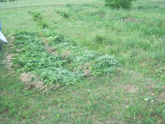В лесополосе на Николаевщине нашли целую плантацию конопли (ФОТО) (фото) - фото 2