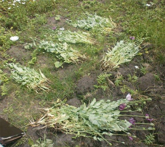 На Кіровоградщині правоохоронці виявляють факти незаконного вирощування маку та коноплі. ФОТО (фото) - фото 1