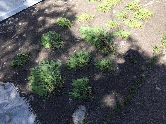 В Романково обнаружена плантация конопли и мака (фото) - фото 2