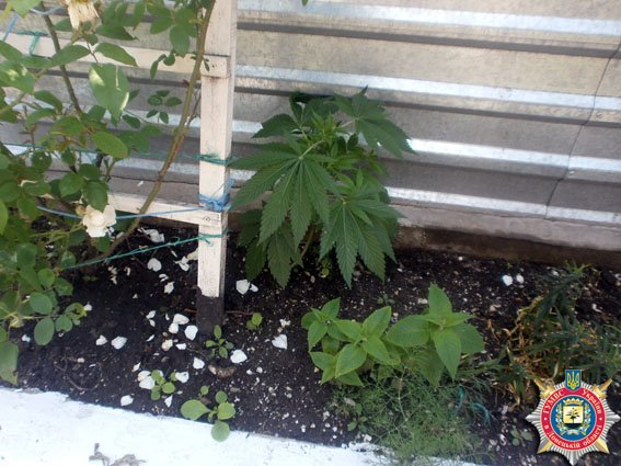Под Мариуполем мужщина выращивал 17 кустов конопли (ФОТО) (фото) - фото 1