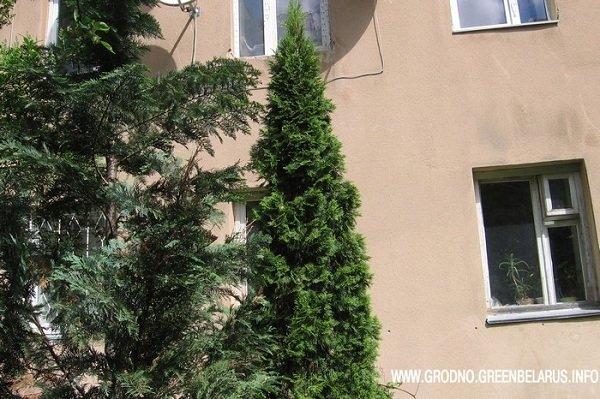 В центре Гродно жители нескольких домов не могут поделить дворовую территорию, а крайними оказались зеленые насаждения (фото) - фото 2