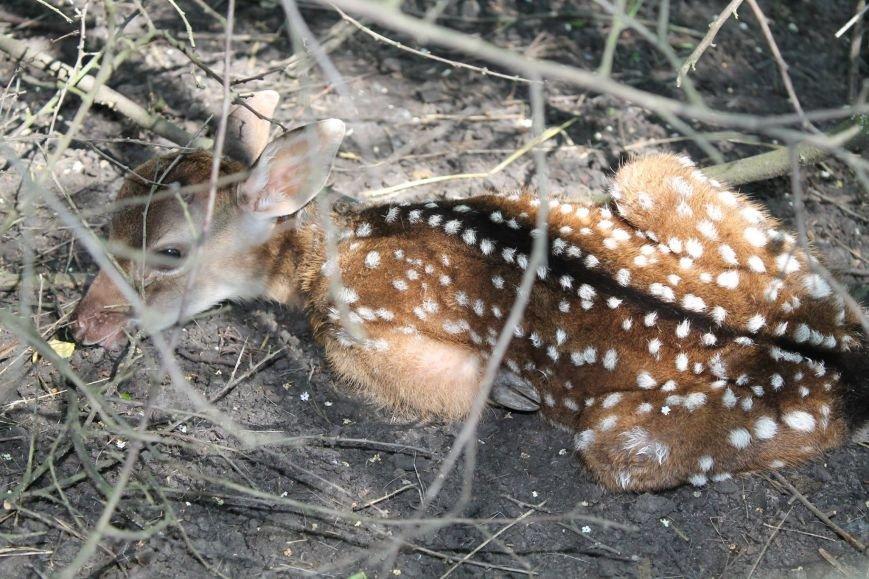 В Краматорске родился олененок, фото-1