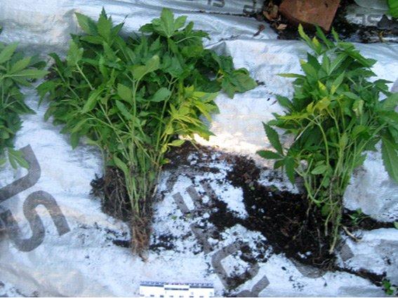 Прикарпатець вирощував плантацію конопель на власній присадибній ділянці (ФОТО) (фото) - фото 1