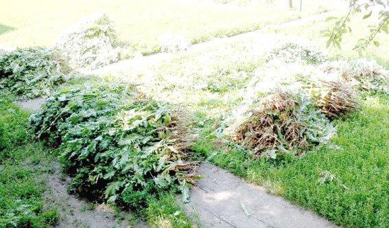 На Полтавщине пенсионерка свой участок превратила в плантацию опиумного мака (фото) - фото 1