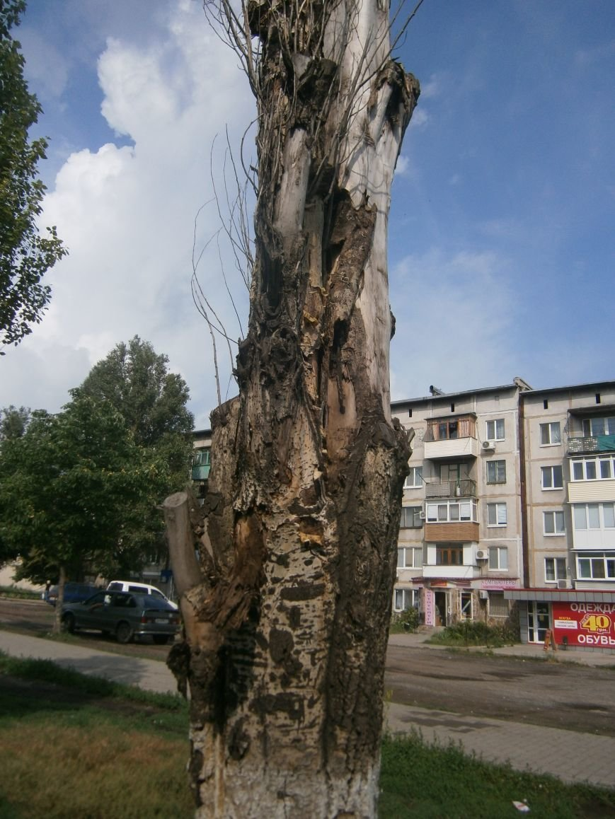 «Омоложение» деревьев по-димитровски – беспощадное (фото) - фото 14