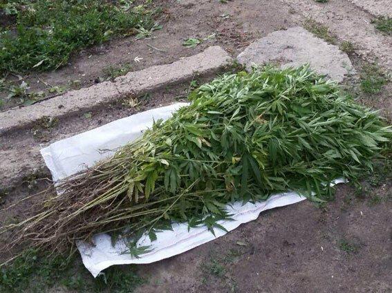 На Харькогвщине пенсионерка вырастила целую плантацию конопли (ФОТО) (фото) - фото 1