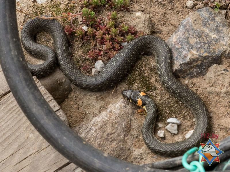 В продолжение темы о змеях. Гомельчанка нашла на своем огороде белорусскую анаконду (фото) - фото 3