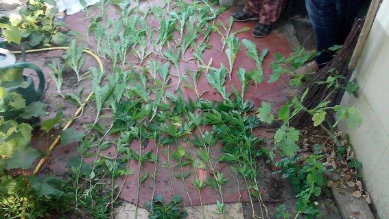 На Полтавщине ликвидировали плантацию наркотических растений (ФОТО) (фото) - фото 1