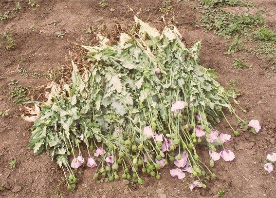 Жительница Кировоградщины выращивала мак, изъято более двухсот кустов (фото) - фото 1