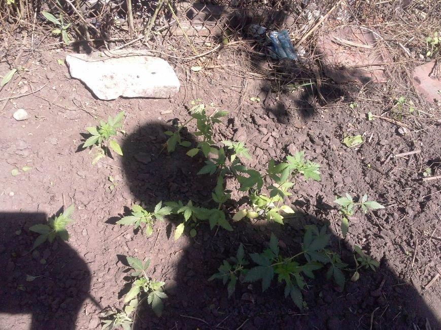Красноармейские милиционеры выявили на приусадебном участке у 29-летнего местного жителя 21 куст конопли (фото) - фото 1