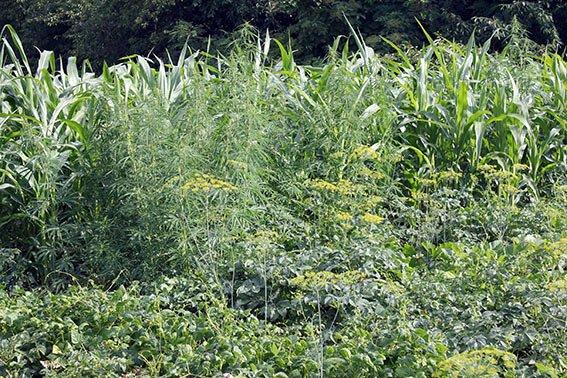 На Хмельниччині міліціонери виявили 2 плантації нарковмісних рослин (фото) - фото 1