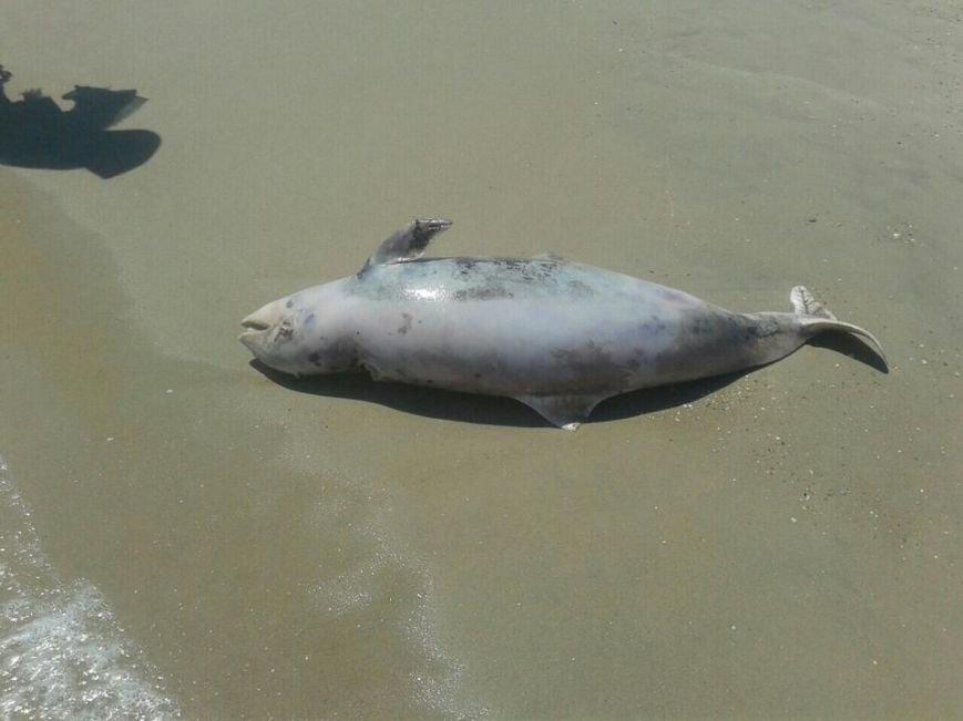 На побережье под Мариуполем  вынесло мертвого дельфина (ФОТО), фото-2